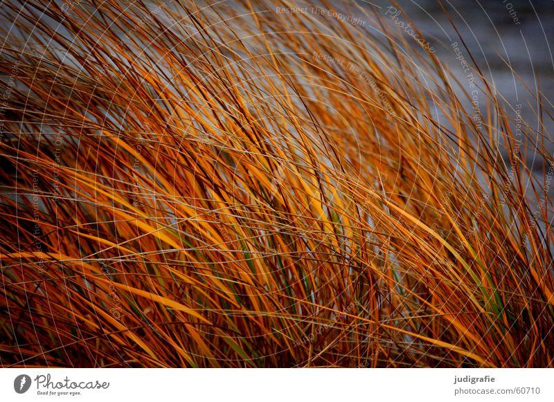 dune grass Grass Beach Lake Darss Evening sun Light Yellow Stalk Blade of grass Coast Sand Beach dune Baltic Sea Wind Nature Sun Gold Orange Line