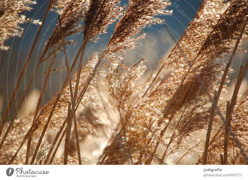 grass Grass Lake Light Yellow Common Reed Stalk Blade of grass Ear of corn Pond Glittering Moody Beautiful Soft Hissing Sun Gold Orange Wind Sky Pollen risp