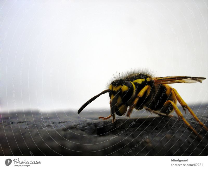 The Yellow Black Attack Wasps Bee Feeler Insect Macro (Extreme close-up) Close-up wasp sting Flying Spine