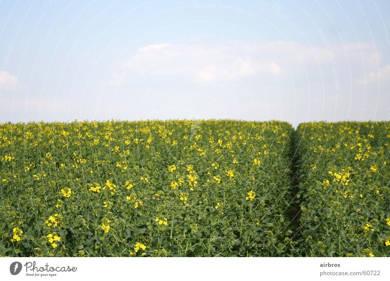 spring Spring Summer Flower Plant Meadow Yellow Sun Sky Grain Cornfield green. blue