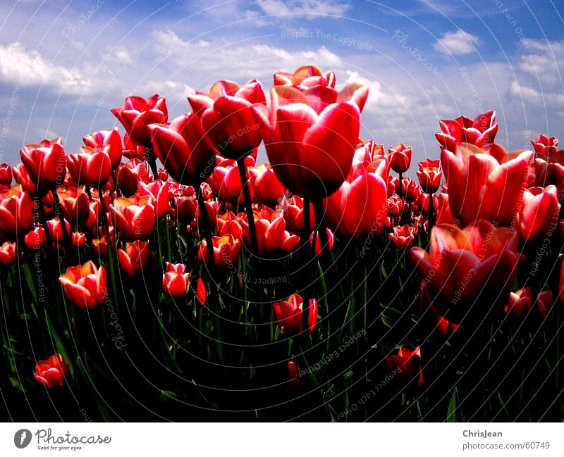 tulip field Light Against Tulip Tulip field Red Pink Illuminate Flower Sky blue Field Blade of grass Life Agra Agriculture Versatile