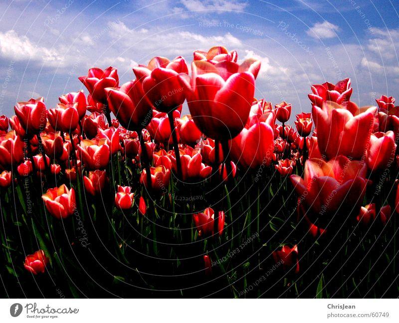 tulip field Light Against Tulip Tulip field Red Pink Illuminate Flower Sky blue Field Blade of grass Life Agra Agriculture Versatile
