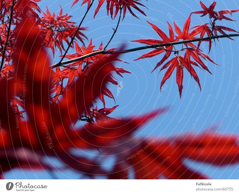 maple Tree Maple tree Red Leaf Sky Garden Twig Branch