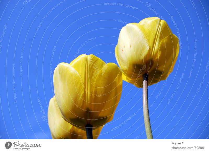 Yellow Angels Tulip Plant Blossom Spring Blue