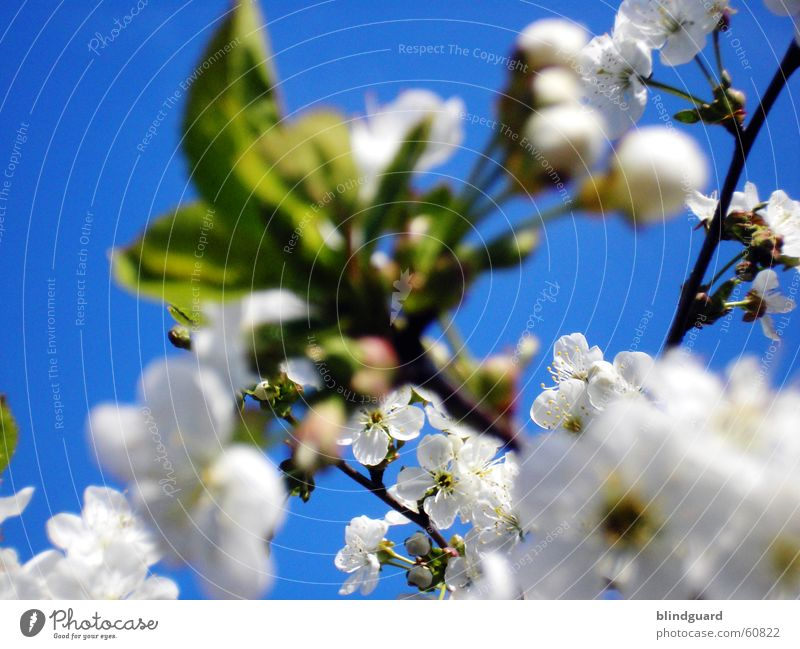 flower clouds Blossom Branchage Twigs and branches Apple Apple blossom Sky Blue White Leaf bud Bud Spring Jump Pure Fruit trees Blossoming Cherry Nature