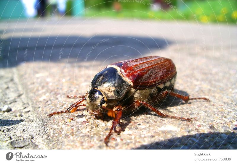 My Beetle Insect May Summer Spring To go for a walk Animal Crawl Concrete Asphalt May bug Hiking Sun Flying Stone Walking Armor-plated Wing