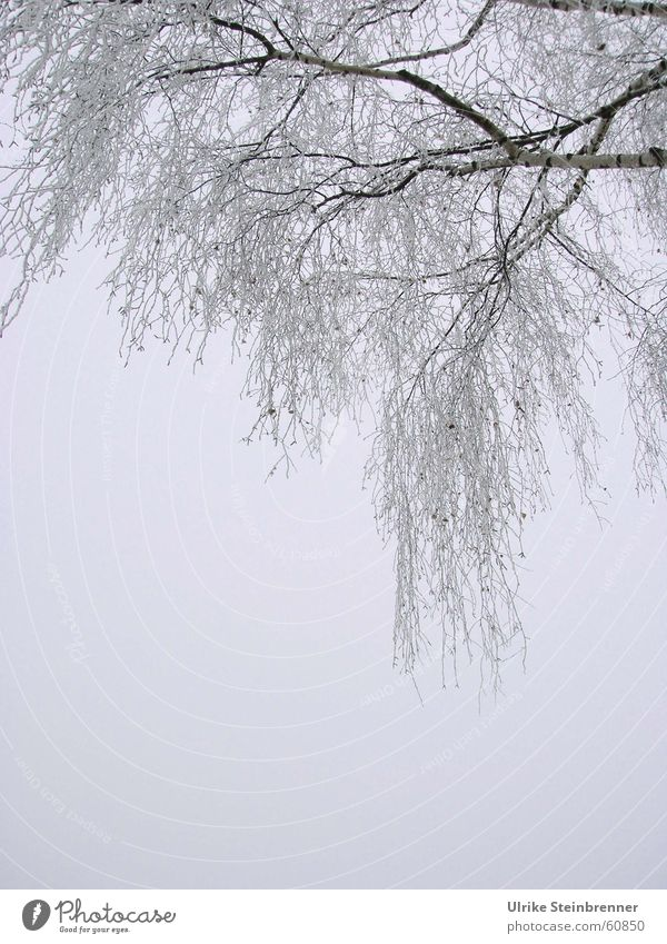 Tree Winter Cold Sadness Ice Fog Grief Frost Branch Fine Fragile Hoar frost Branchage Winter activities Birch tree Suspended