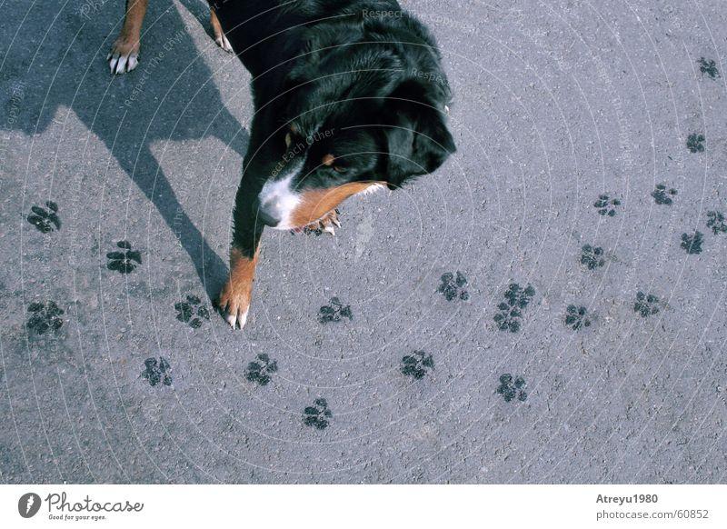 Animal Street Dog Funny Wet Asphalt Tracks Footprint Paw Pet Bernese Mountain Dog