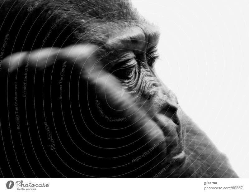 Everyday Zoo Monkeys Gorilla Boredom