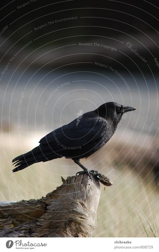 Raven with shell Coast Bird 1 Animal Wood To feed Blue Gray Black Raven birds Subdued colour Exterior shot