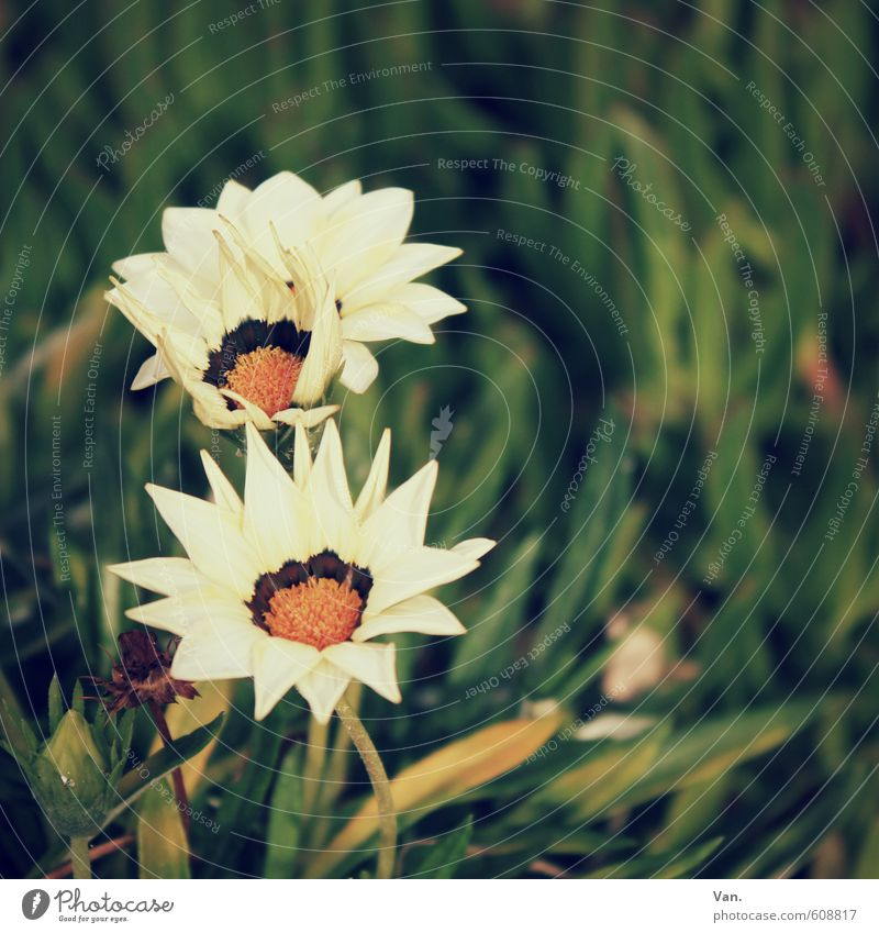 : Nature Plant Flower Grass Blossom Meadow Warmth Green White Colour photo Subdued colour Exterior shot Close-up Deserted Day Shallow depth of field