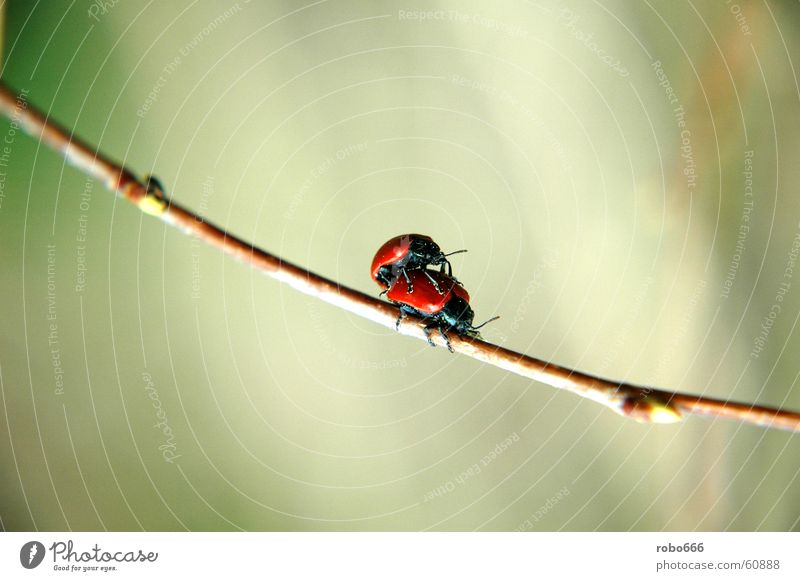 Love play in spring Insect Blade of grass Spring fever Ladybird Beetle
