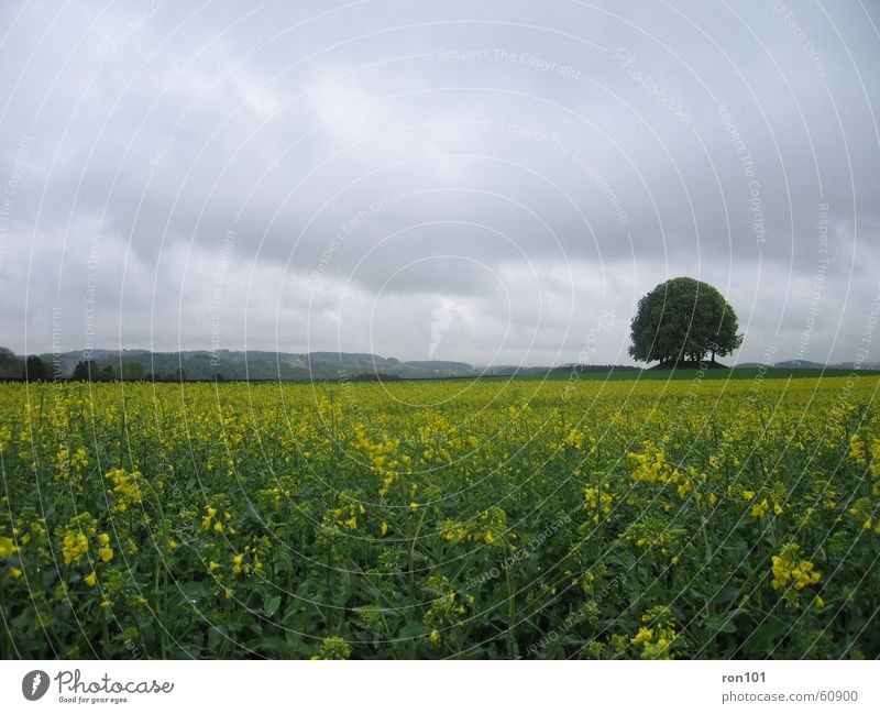 Tree Plant Flower Leaf Clouds Landscape Yellow Gray Rain Field Hill Canola Precipitation Canola field