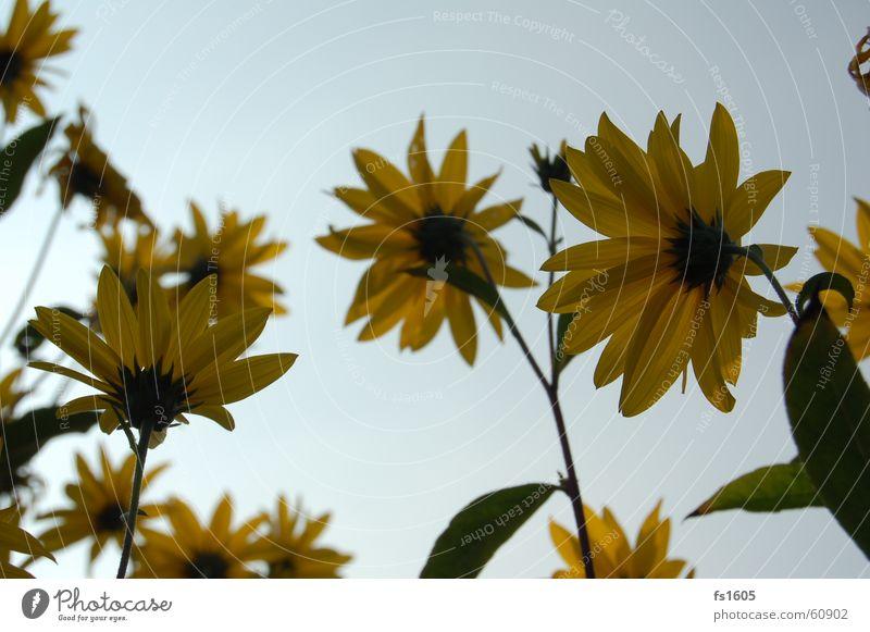 Sky Sun Flower Blue Summer Yellow