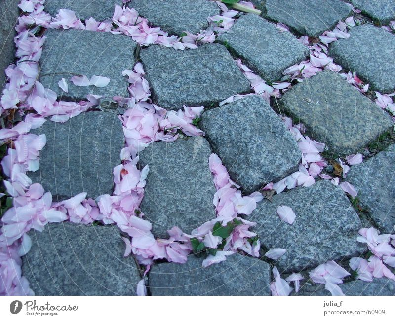 at flower's way Blossom Pink Gray Plant Spring Lanes & trails Street Stone Paving stone