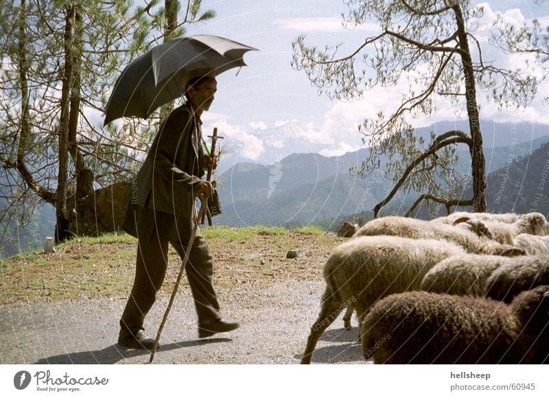 under India's sun Herdsman Man Sheep