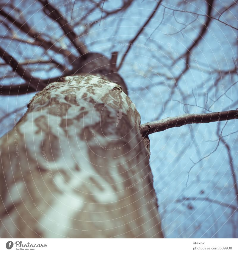 Branch Winter Tree Old Cold Blue Gray Beech tree Tree bark Tree trunk Treetop Bleak Subdued colour Exterior shot Close-up Copy Space top