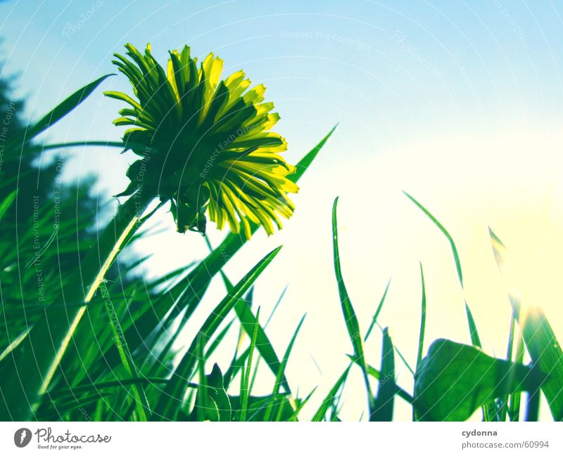 dandelion meadow Spring Meadow Flower Blossom Dandelion Yellow Green Blur Lawn for sunbathing Grass Sun Joy Detail Sky Perspective Nature
