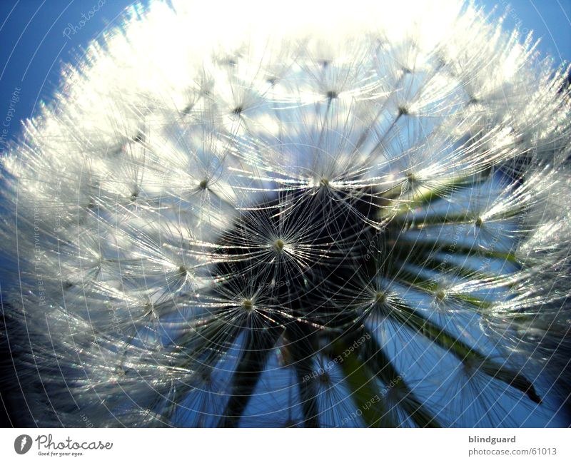 Too late for Peter Lustig Summer Dandelion Dark Back-light Dream Parachute Blur Think To enjoy Twilight Glittering White Delicate Plant Animal Botany Biology