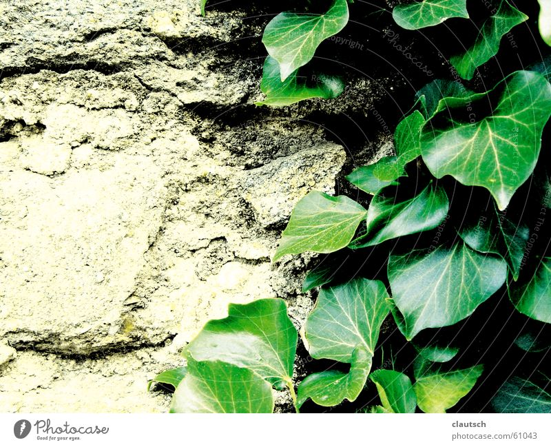 flattered by the leaves Leaf Ivy Creeper Plant Stone Green Wall (barrier) Wall (building) Hard Dry Soft Supple climb Climbing Rock Gain favor coaxed Smooth