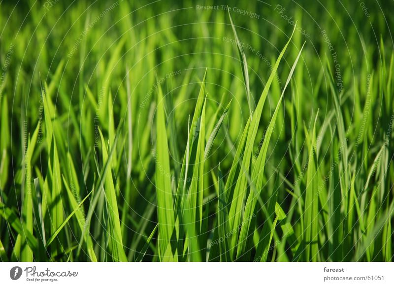 Green Plant Meadow Grass Field Indonesia Bali Paddy field