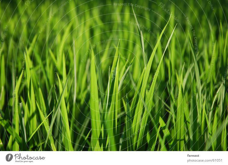 Green Plant Meadow Grass Field Indonesia Bali Paddy field
