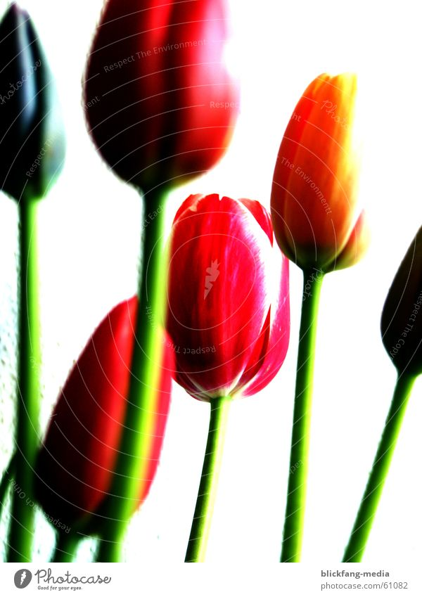 tulips Tulip Blossom Flower Summer Physics Multicoloured Life Bouquet Maturing time Growth Friendliness Exterior shot Overexposure Colour Stalk Warmth Bright