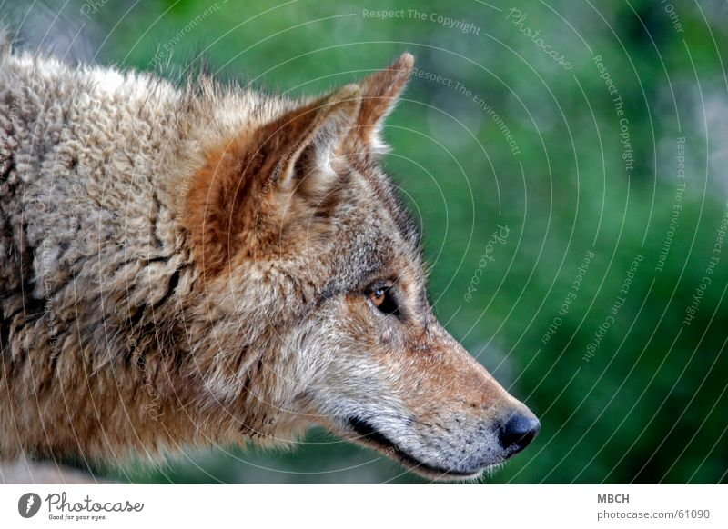 Green Black Eyes Animal Hair and hairstyles Brown Nose Wild animal Ear Pelt Listening Neck Snout Wolf Whisker