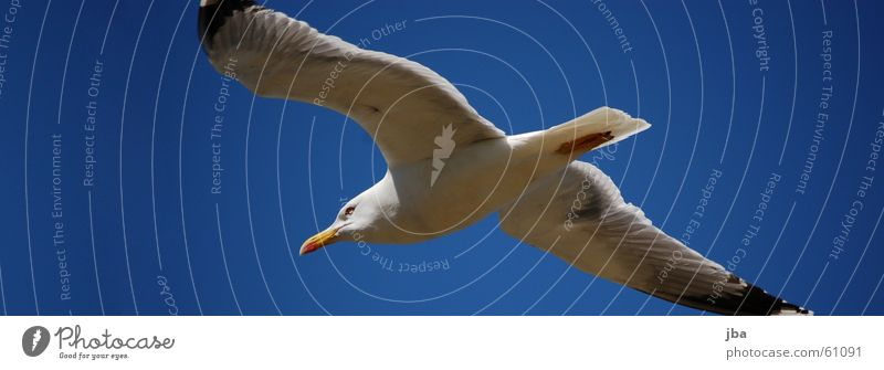 Sky White Blue Black Eyes Flying Aviation Wing Seagull Beak Tails Dolphin Span