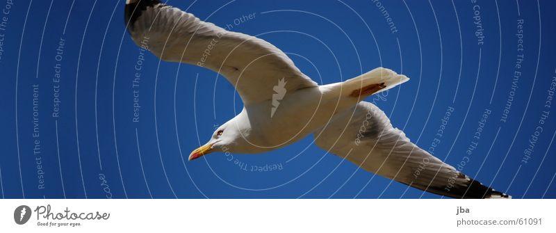 Sky White Blue Black Eyes Flying Aviation Wing Seagull Beak Tails Dolphin Span