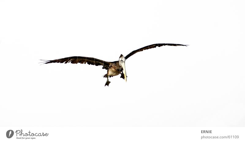 Sky White Ocean Feet Air Bird Flying Speed Feather Wing Testing & Control North Chile Pelican Defecate Arica
