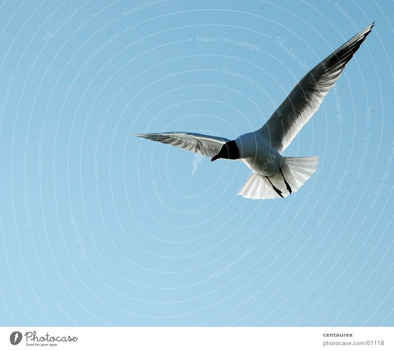 Black-headed Gull #2 Seagull Watchfulness Feeding Animal Bird Ocean Relaxation Sky Flying Freedom North Sea Observe