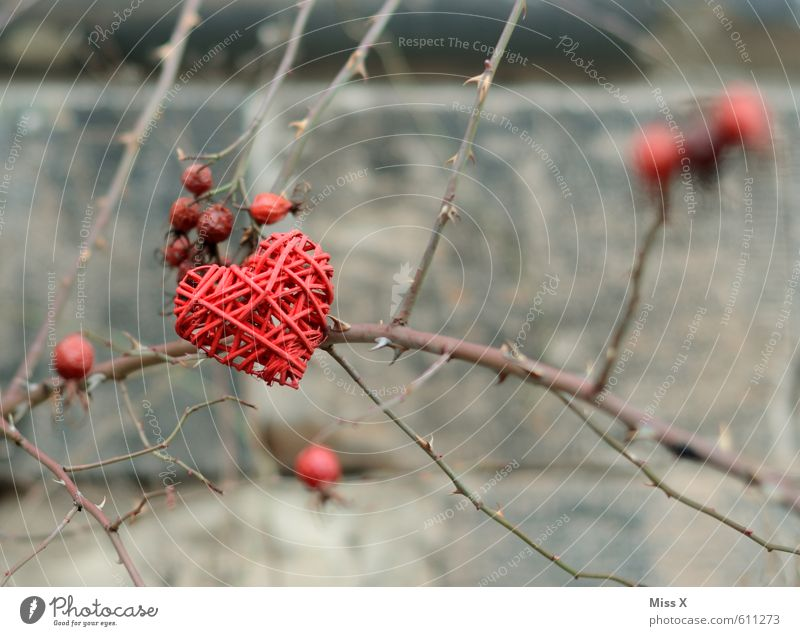 thorn heart Decoration Valentine's Day Bushes Rose Thorny Emotions Moody Love Infatuation Romance Lovesickness Jealousy Love affair Heart Rose plants Rose hip