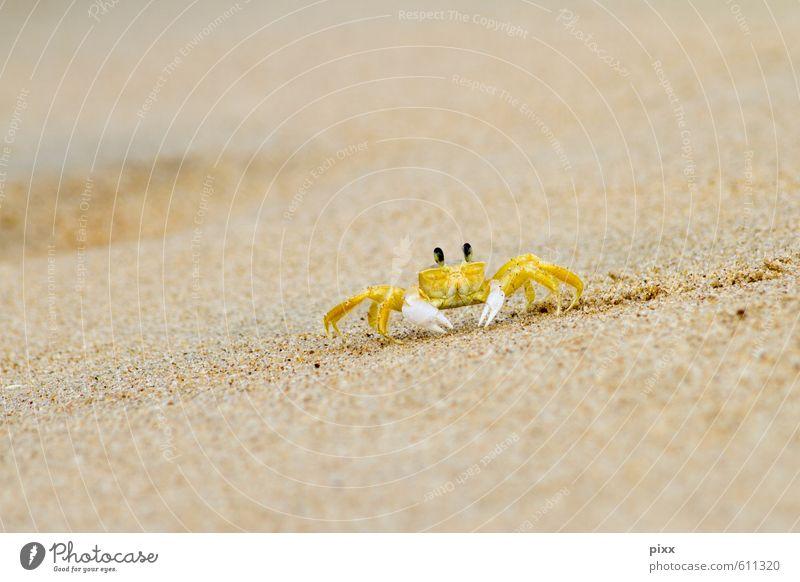 Yellow speedster Vacation & Travel Summer Ocean Nature Animal Sand Water Coast Beach Brazil South America Small Town Deserted Animal tracks Shrimp 1 Crawl
