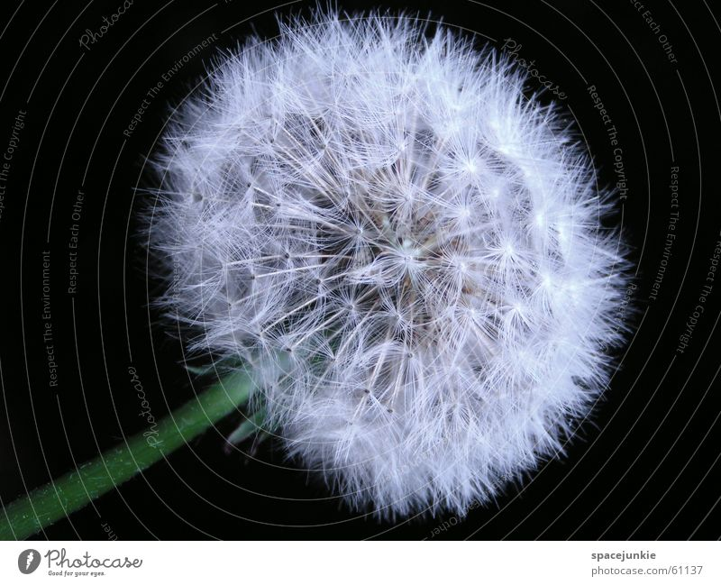 Nature White Spring Dandelion Seed Tailed seeds