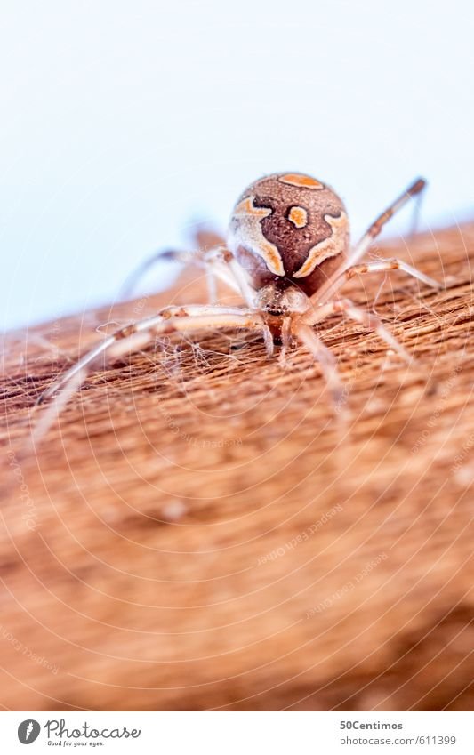Exotic Spider Animal Wild animal 1 Wood Threat Brown Yellow Adventure Aggression Colour photo Macro (Extreme close-up) Shallow depth of field