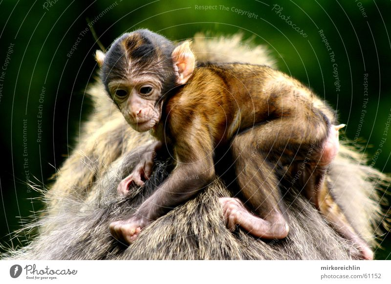 Hang on! Monkeys Barbary ape Hold To hold on Animal Safety Safety (feeling of) bigway Fear Protection Back Looking monkey Simian anthropoid young mother father