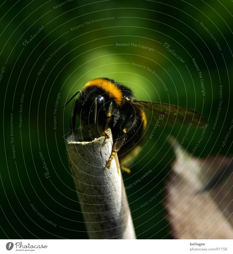 Nature Green Black Yellow Above Tall Wing Insect To hold on Bee Feeler Crawl Rod Bumble bee