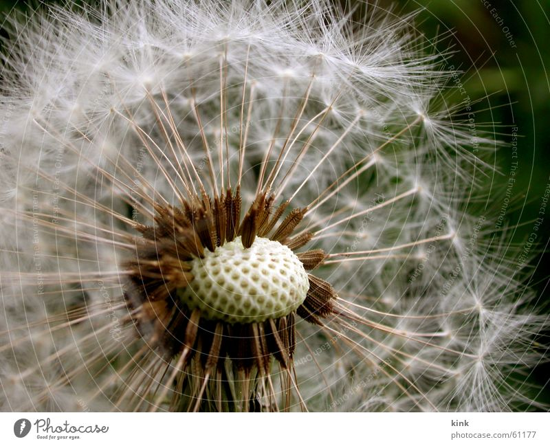 Withered dandelion Dandelion Flower Faded Seed White Wind Nature Green
