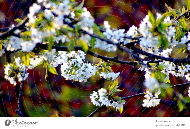 cherry blossom Flower Light Spring Physics Summer Beautiful Multicoloured White Green Tree Shadow Warmth Graffiti Colour Nature Fruit