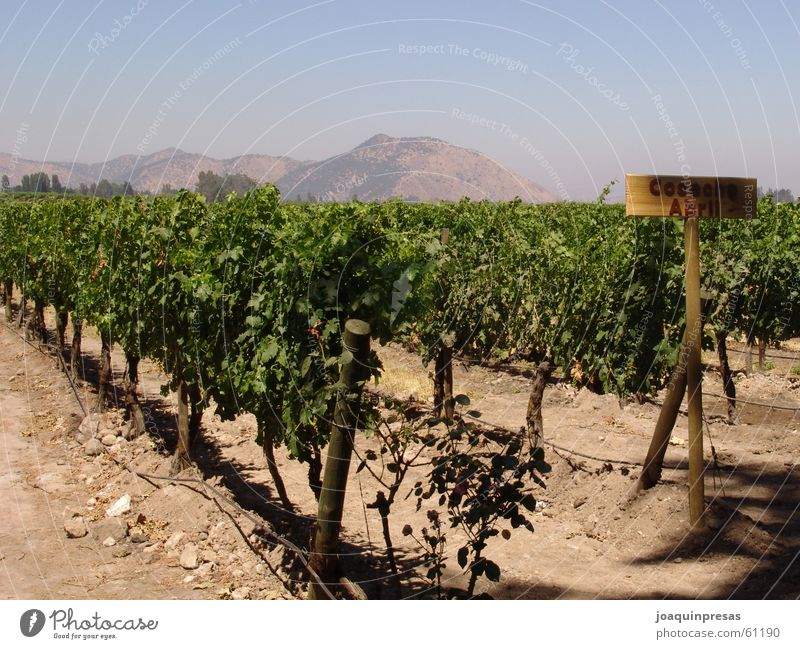 Chilean Wineyards Sky Vine wineyards grapes mountain chilean culture shoted by a sony 828