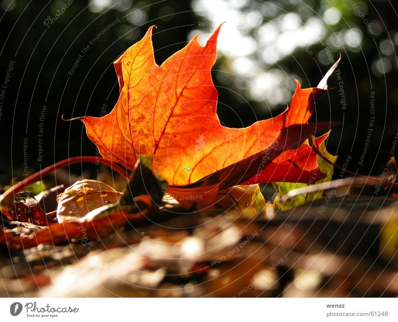 glowing maple leaf Tree Leaf Vessel Maple tree Maple leaf Autumn Sun Branch