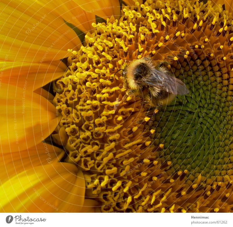 Vacuum cleaner. Flower Sunflower Summer Yellow Blossom Pollen Bumble bee Bee Wasps Animal Insect Maya the Bee Delicious Soft Pattern Suck Mammal Detail Orange