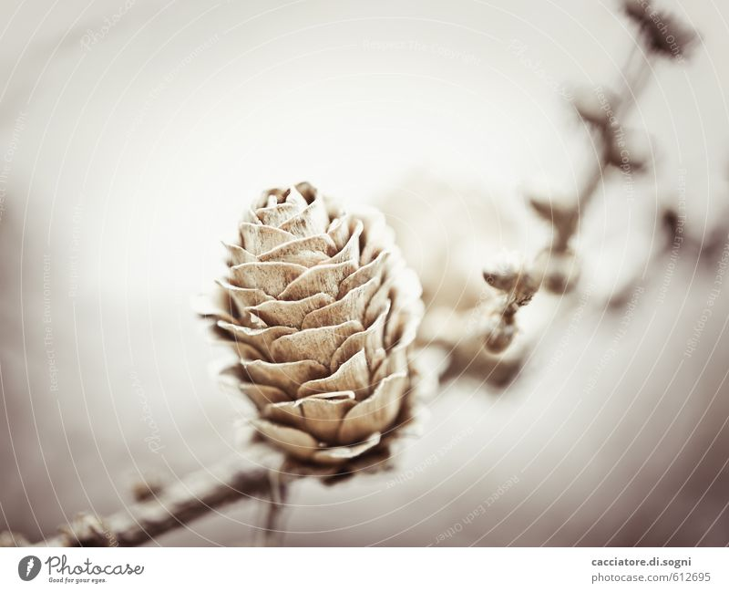 Uncertain future Nature Plant Autumn Winter Beautiful weather Cone Simple Friendliness Happy Bright Small Natural Positive Dry Brown Gray