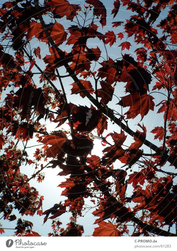 Like a leaf in the wind... Jump Plant Leaf Tree Spring Red Clouds Light Sky Nature Grief Distress Autumn Branch maple tree sheet sheets Twig Blue leaves
