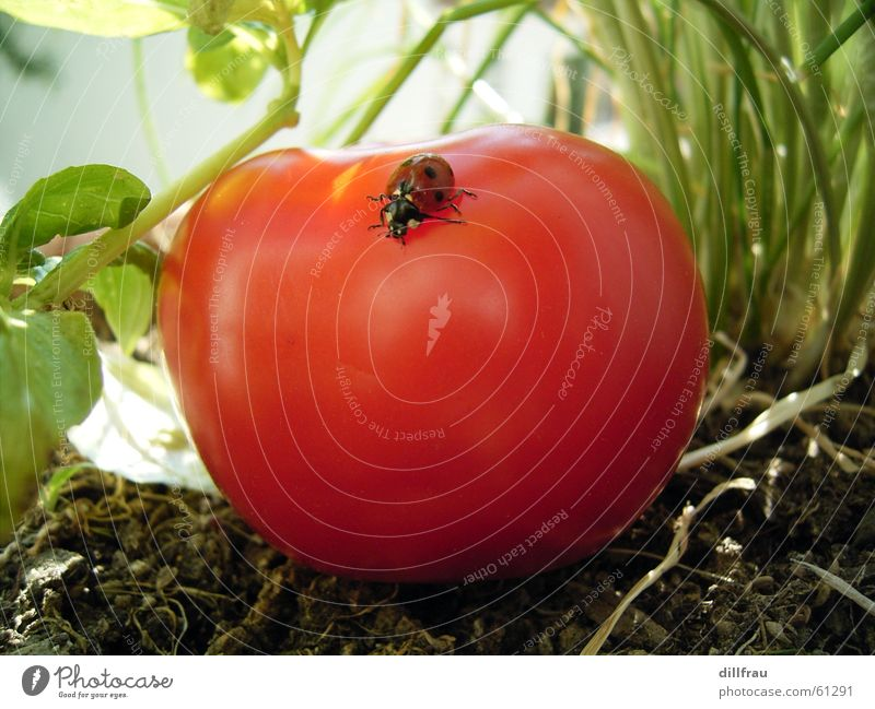 Green Summer Sun Red Yellow Meadow Healthy Garden Contentment Round Point Vegetable Insect Still Life Safety (feeling of) Tomato