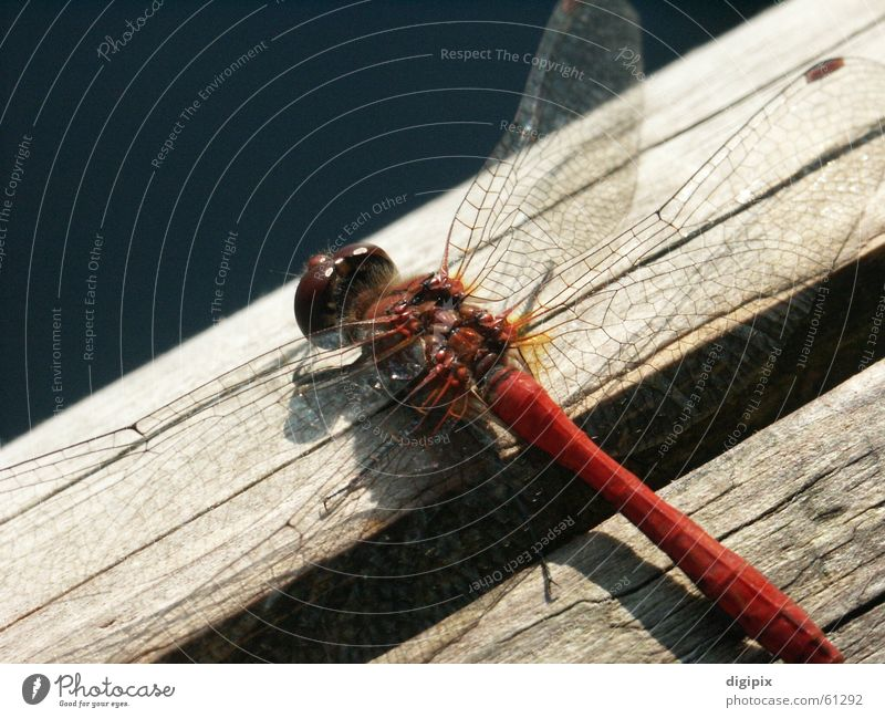 flying object Wood Dragonfly Insect Close-up Macro (Extreme close-up) Summer Nature Wing Aviation Graffiti