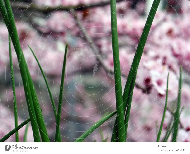 Nature Green Herbs and spices Cherry blossom Chives Ornamental cherry