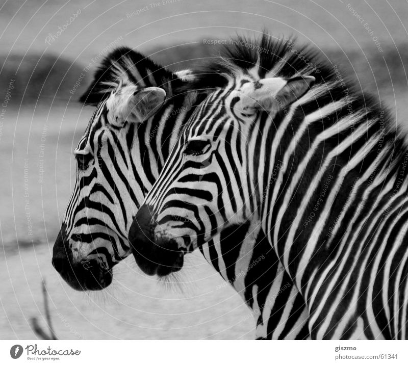 Pair of animals In pairs Zebra