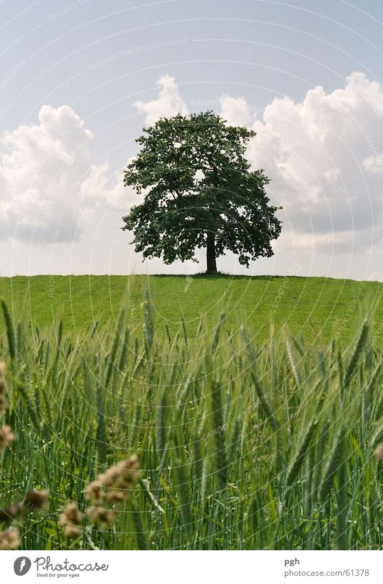 Beautiful tree in Münsing Green Wheat Wheatfield Clouds old tree juicy grass solitary Hill Sky